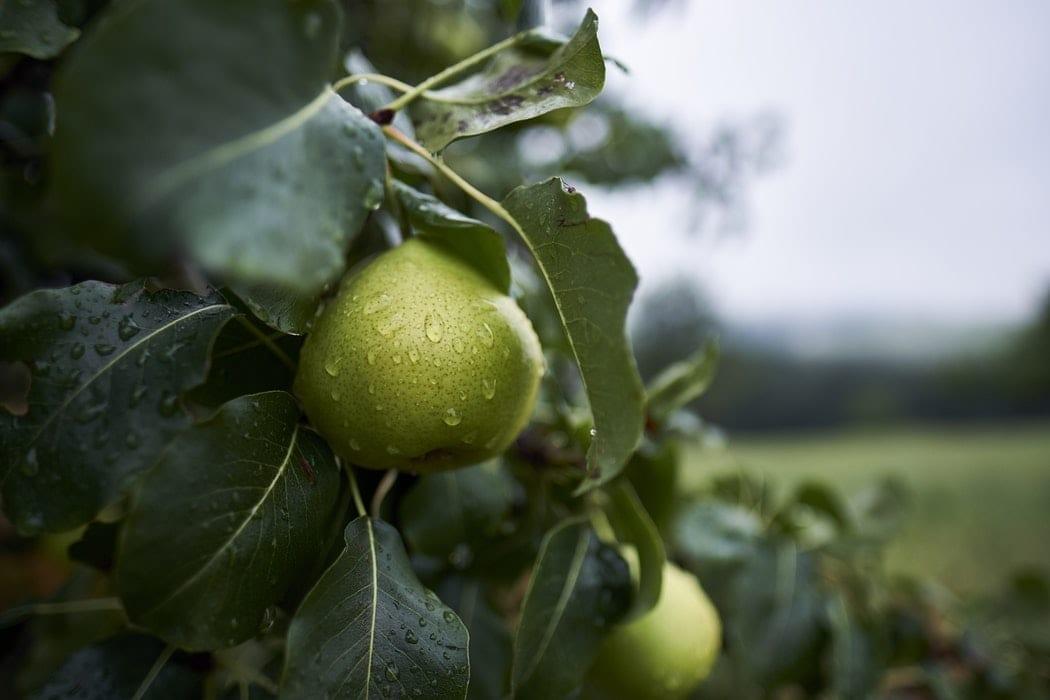 Avalon produce on tree pears